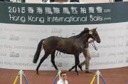 圖二、三、四<br> 5號拍賣馬(父系Pins、母系Savamour)由鄭建生以700萬港元投得,為今次拍賣會成交價最高的一駒。