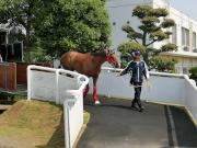 圖一、二<br> 「詠彩繽紛」今晨抵達位處東京近郊的日本中央競馬會競馬學校,並進駐該處的檢疫馬房。